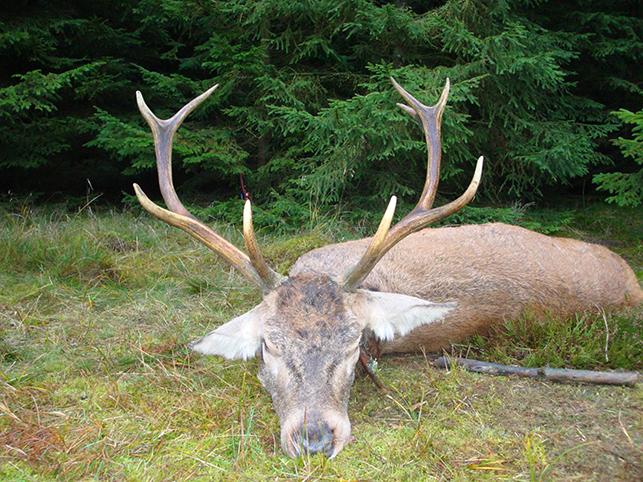10-ender nedlagt af Brian Mortensen på Hedelykke, Østermosevej lørdag d. 23/11-13. Hjorten, som anslås til 5 år, vejede 114 kg. brækket og forendte efter 30 meter med en god bladkugle.