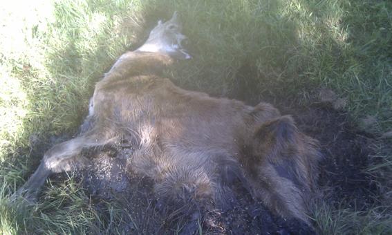 Den unge hjort vurderes at have lagt 2-3 uger