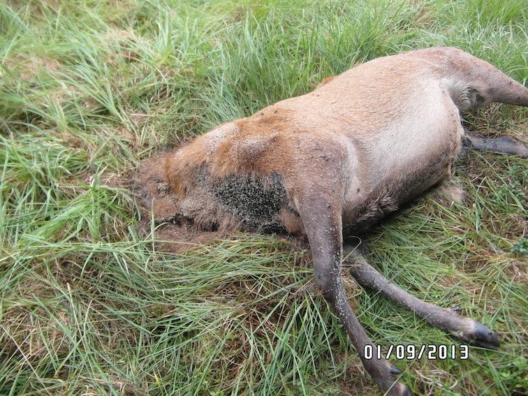 Den store hjort lå få meter fra vejen - uden hoved…