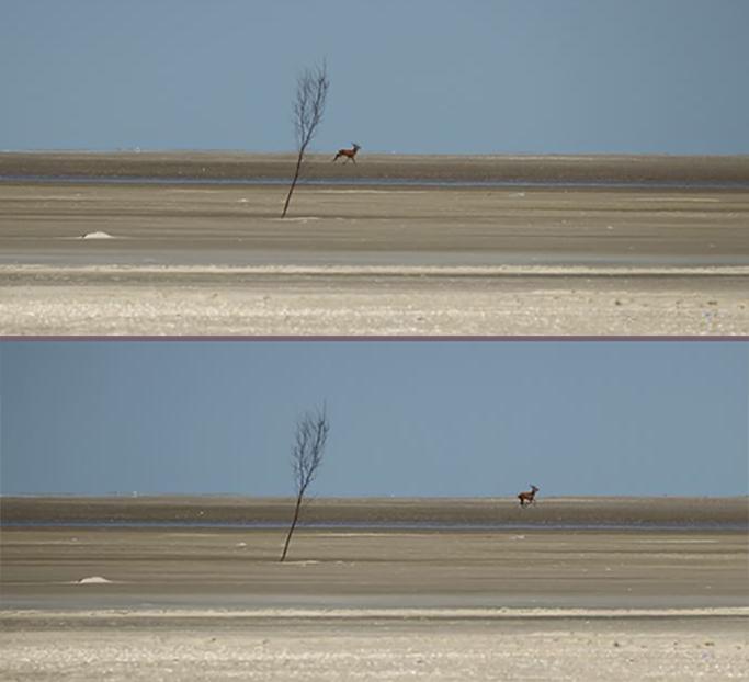 Hjorten på Manø