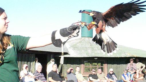 Ørnen lander og får en kylling